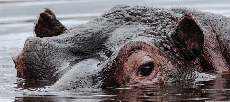 Hippo head, close-up, Kruger National Park, South Africa