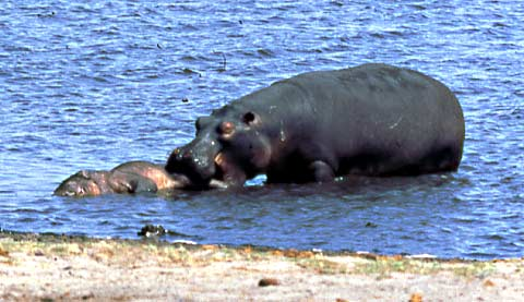 hippo trying to move body