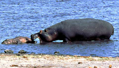 picture of hippo nudging dead juvenile