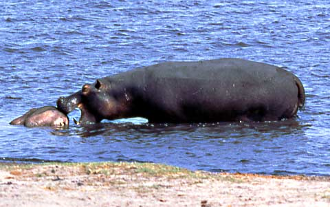 picture of hippo trying to move carcass