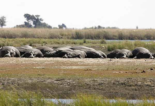Pod of hippos sleeping on banks of river