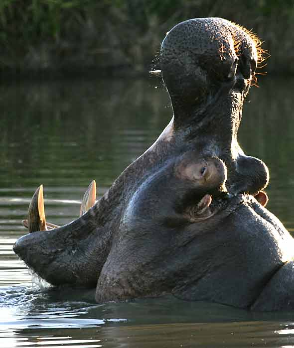 Hippo yawning, showing fearsome teeth