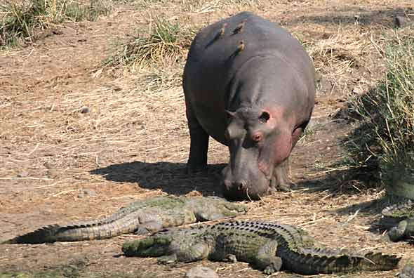 Hippo and crocodile stand-off