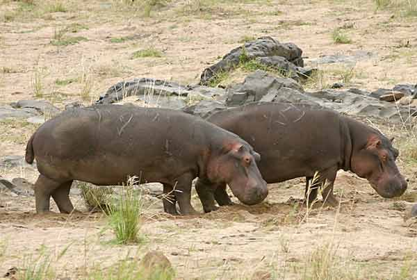 Hippo pair on banks of river