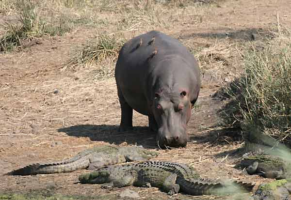 Hippo finds crocodiles blocking its path