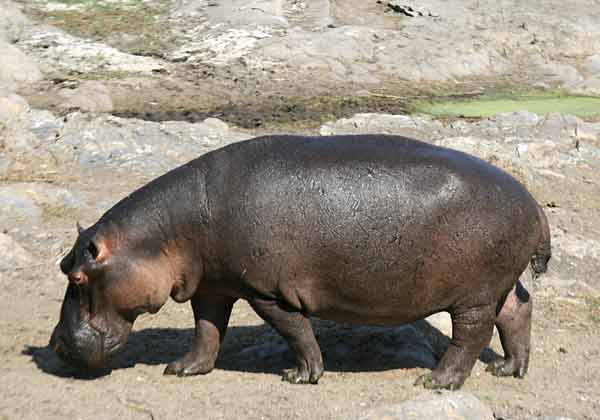 Hippo walking across rocky terrain