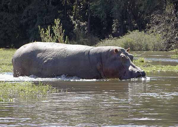 Hippo wading into river
