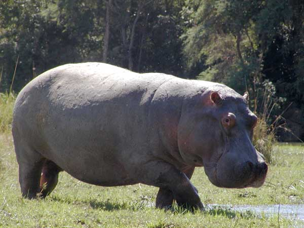 Hippo standing on riverbank
