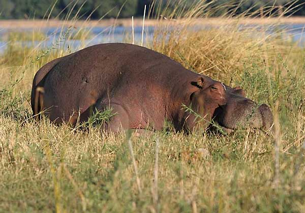 Hippo dozing on riverbank