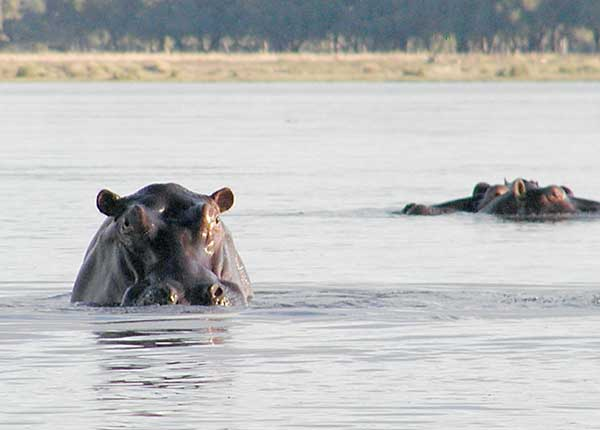 Hippo popping its head above water