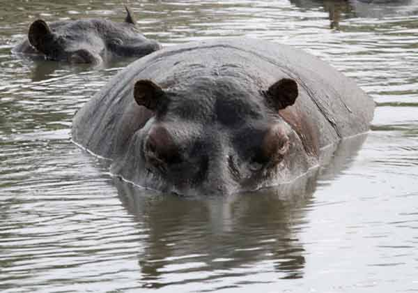 Hippo partially submerged