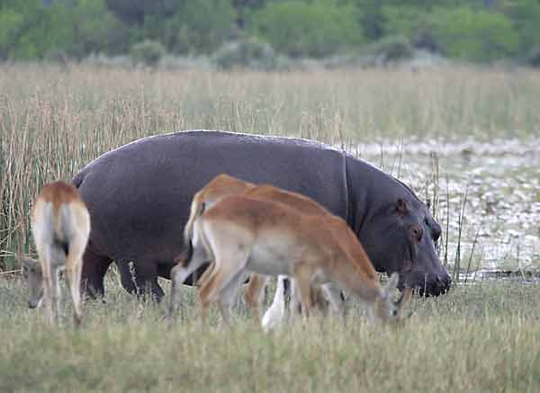 Hippo and red lechwe grazing