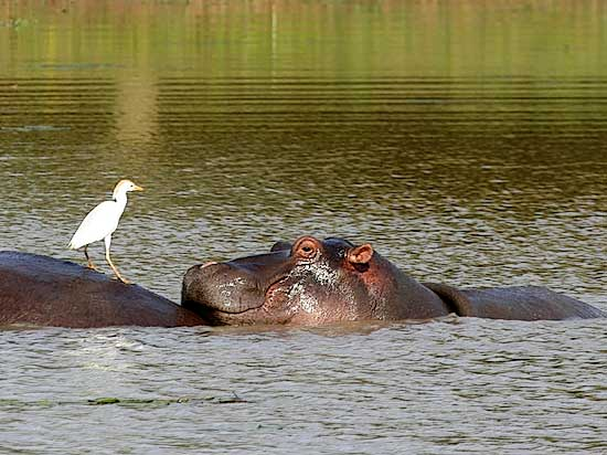 Hippo and egret