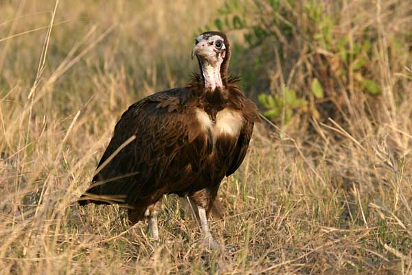 Hooded Vulture, immature