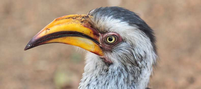 Yellowbilled-hornbill, close-up, Kruger National Park, South Africa