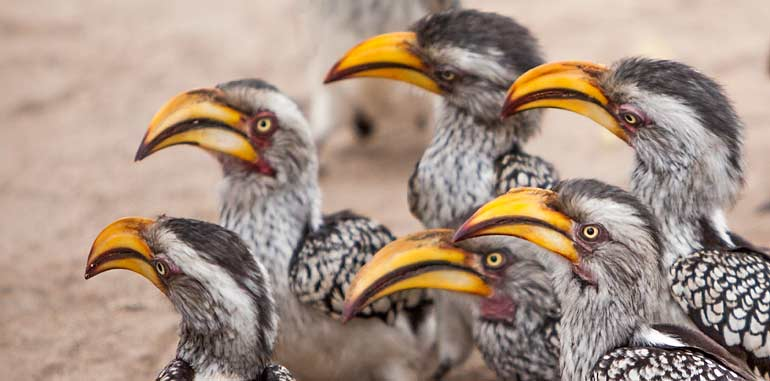 Southern Yellow-billed Hornbills waiting for snack, Kruger National Park