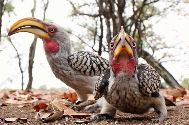 Yellowbilled hornbills taken with wide angle lens