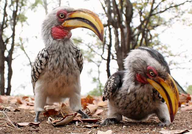 Pair of yellowbilled hornbills, wide angle view, kruger national park