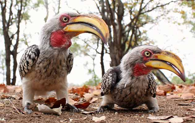 Yellowbilled hornbills with wide angle lens