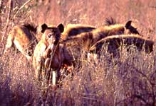 hyenas tear into impala