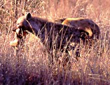 hyenas tear off pieces of impala
