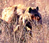 hyena with bloody face