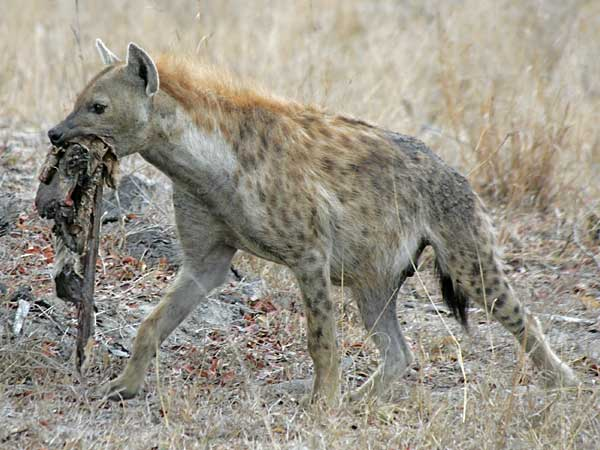 Hyena with carcass remains