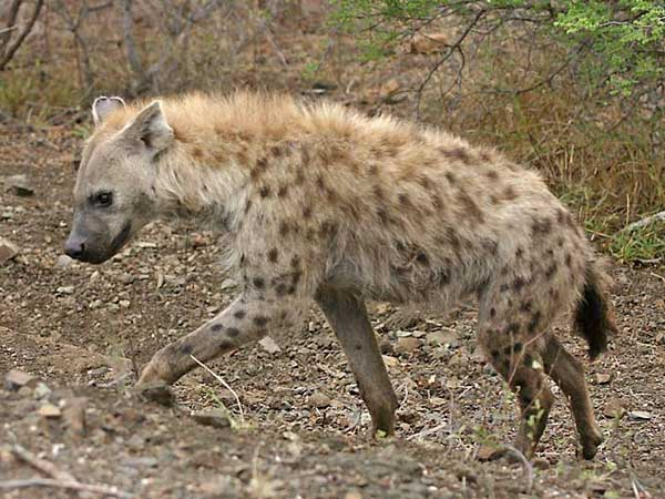 Hyena walking up bank, Kruger park, South Africa