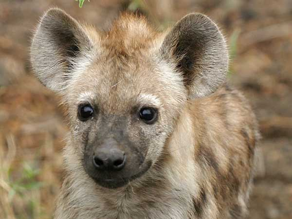 Spotted hyena pup, close-up