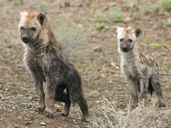 Pair of hyena pups, Kruger National Park