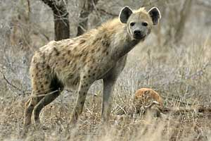 Spotted hyena standing, side view, Kruger National Park