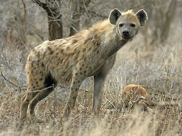 Hyena in alert mode, Kruger National Park