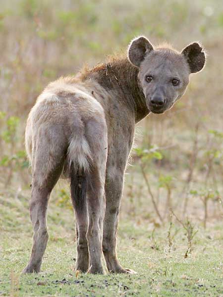 Hyena looking over shoulder