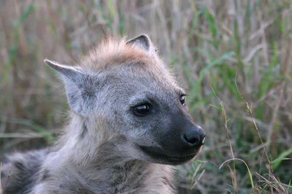 Hyena pup, close-up