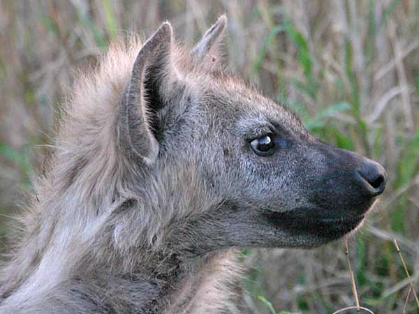 Spotted hyena juvenile, close-up