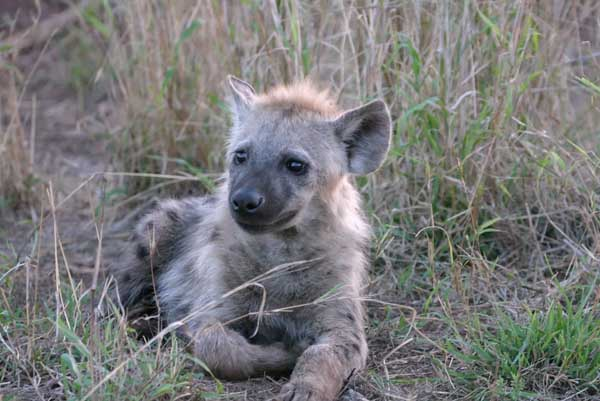Hyena Pup lying down
