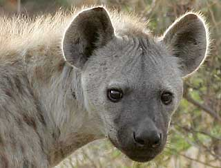 Spotted hyena close-up, Kruger National Park