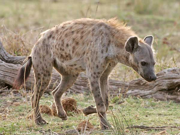 Spotted hyena, side view, Kruger National Park