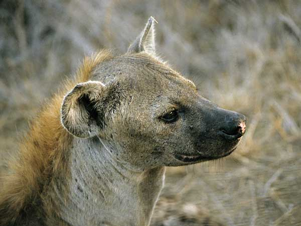 Hyena in profile, close-up