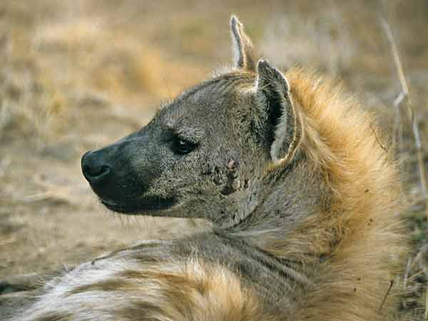 Spotted hyena head and shoulders in morning light