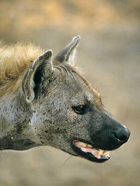 Spotted hyena portrait, profile view