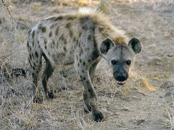 Hyena in early morning light