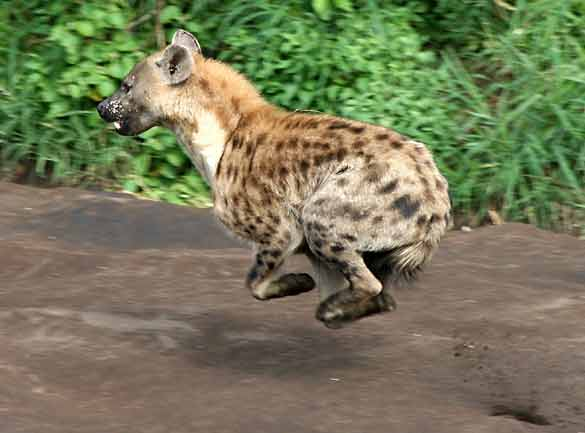 Hyena running at full speed