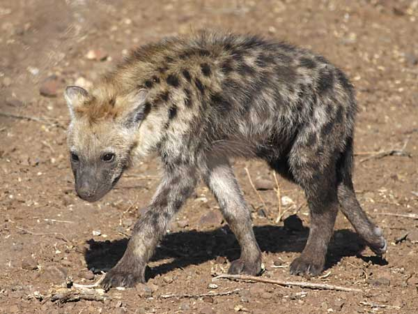 Hyena pup on the move