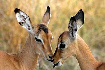 Baby impala antelope, Kruger Park, South Africa