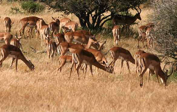 Impala herd grazing in Mashatu Game Reserve
