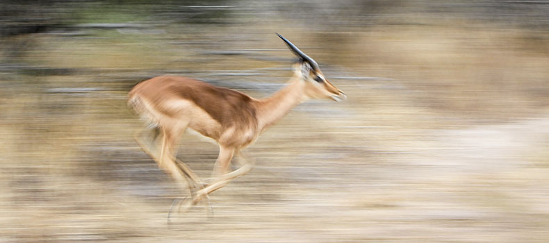 Impala at speed, motion blur, Kruger National Park, South Africa