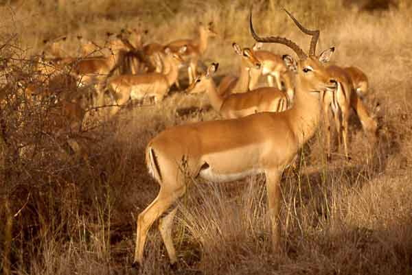Impala ram guarding female herd