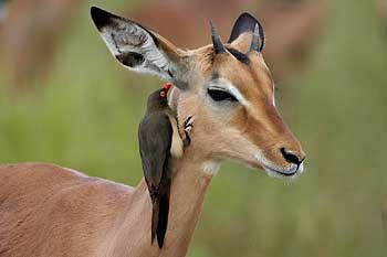 Impala ram and redbilled oxpecker