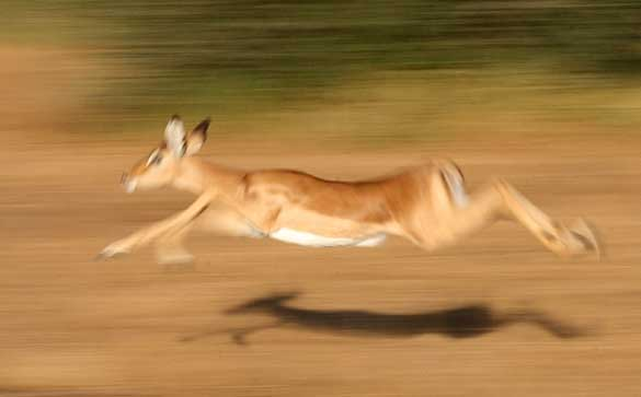 Impala flying through air at full stretch, motion blur